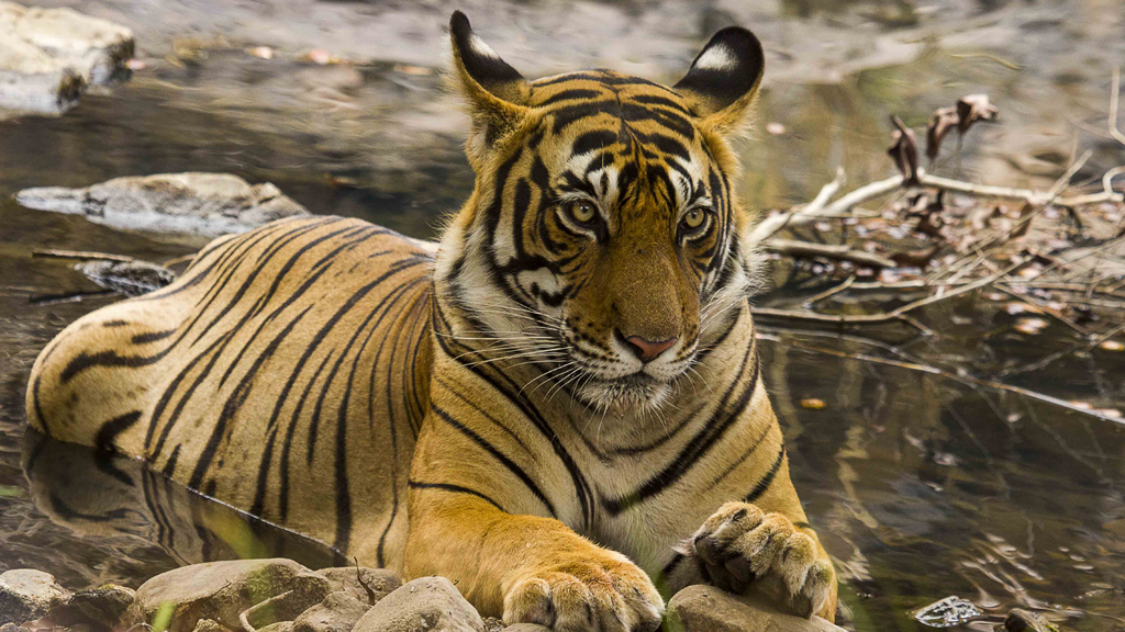Stalk the tiger in Ranthambore National Park
